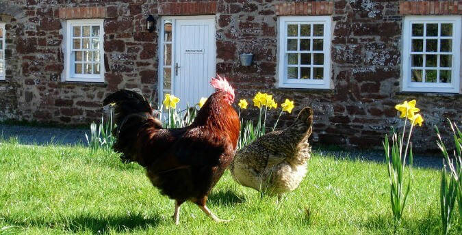 First Cottage with chickens, Rosemoor, Pembrokeshire, South West Wales