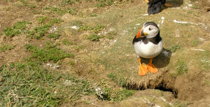 A puffin on Skomer Island