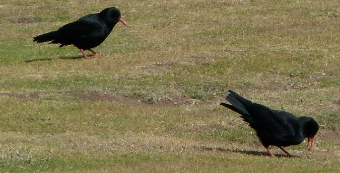 Choughs on Ramsey