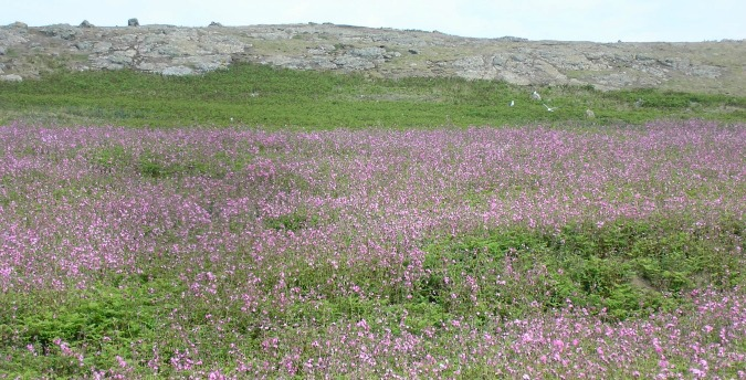 An abundance of wild flowers on Skomer Island