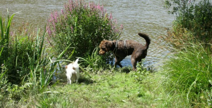 Pet Dogs Rosie & Tess in nature reserve Rosemoor Pembrokeshire Wales