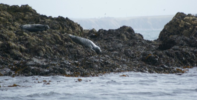 Seals on a shingle beach on Skomer Island