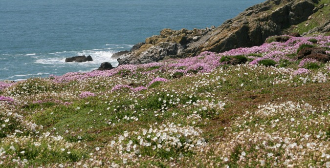 Flowers right up to the sea on Skomer Island