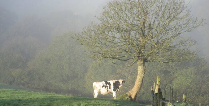 Cattle in morning mist Rosemoor Country Cottages and Nature reserve