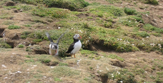 Puffins exiting their burrow on Skomer Island