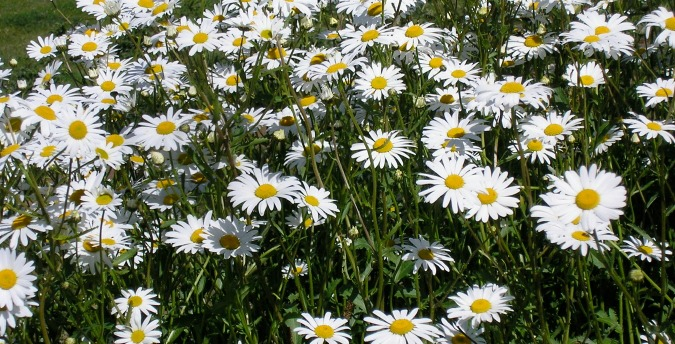 Oxeye daisies Rosemoor Country Cottages and Nature reserve