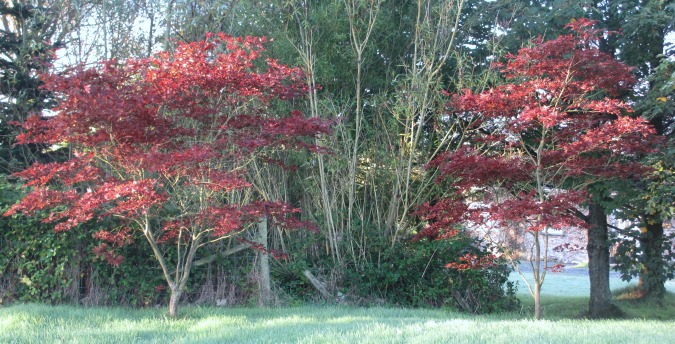Acers by entrance to willow wood Rosemoor Country Cottages and Nature reserve