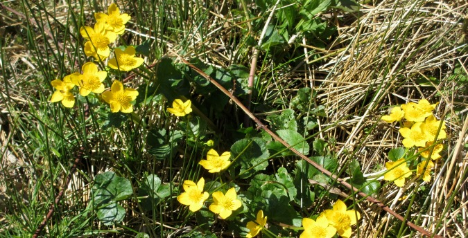 Marsh Marigolds in the Rosemoor Nature Reserve - Pembrokeshire West Wales