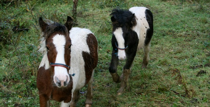 Welsh Ponies in the Rosemoor Nature Reserve - Pembrokeshire West Wales